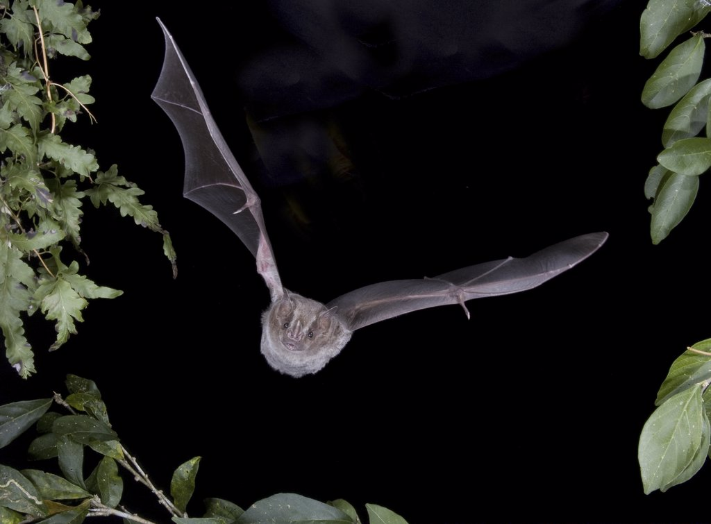 Stock Photo: 1554-257 Black-Winged Little Yellow bat (Rhogeessa tumida) in flight, Mexico