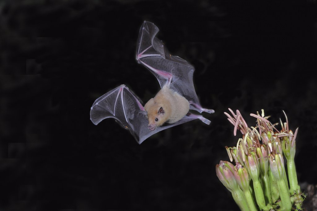 Stock Photo: 1554-289 Lesser Long-Nosed bat (Leptonycteris curasoae) flying at night, Arizona, USA