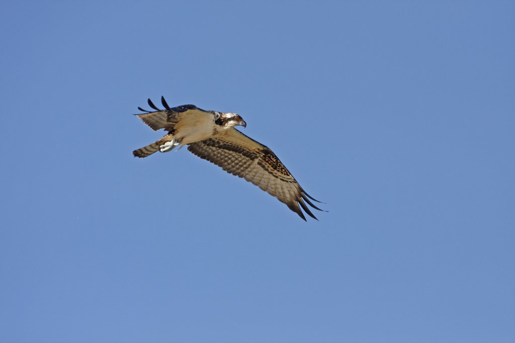 Osprey (Pandion haliaetus) flying in the sky, Florida, USA : Stock Photo