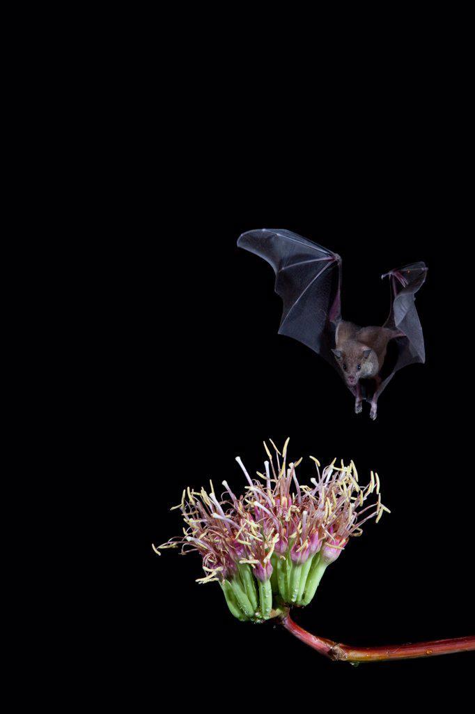 Lesser Long-Nosed bat (Leptonycteris yerbabuenae) feeding on agave nectar, Arizona, USA : Stock Photo