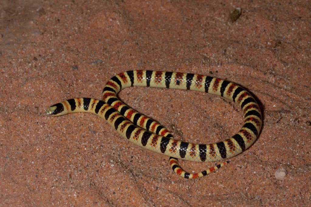 Close-up of a Tucson Shovel-Nosed snake (Chionactis occipitalis klauberi), Arizona, USA : Stock Photo