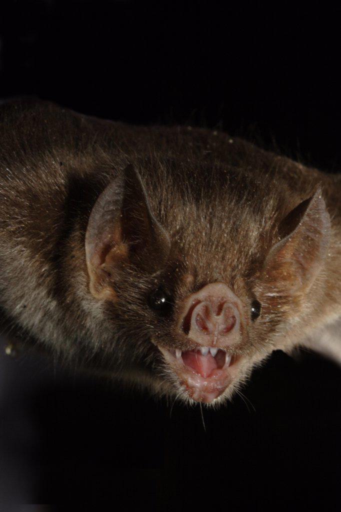 Close-up of a Common vampire bat (Desmodus rotundus), Sonora, Mexico : Stock Photo