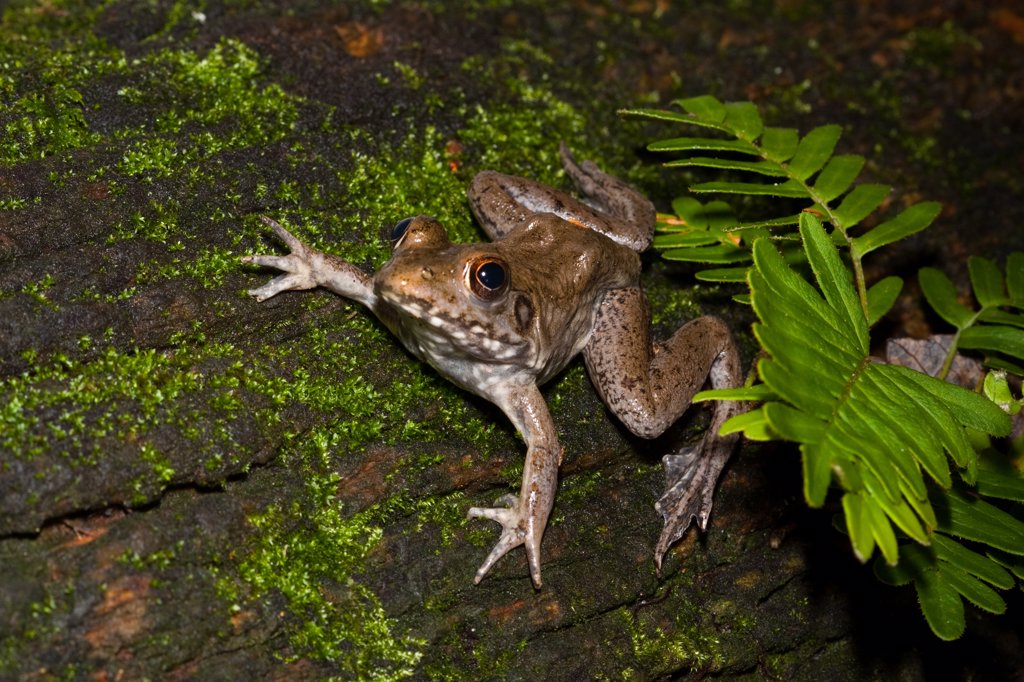 Close-up of a River frog (Rana heckscheri), Florida, USA : Stock Photo
