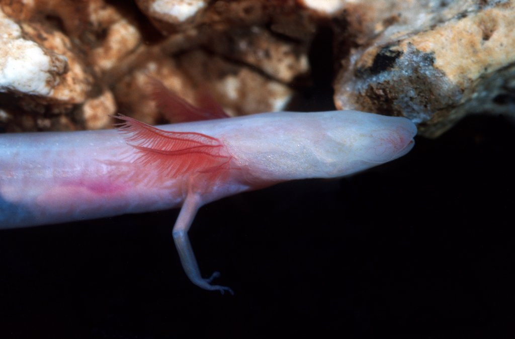 Stock Photo: 1554-596 USA, Florida, Georgia Blind Cave Salamander (Haideotriton wallacei) Adult-Controlled conditions Underground aquifer