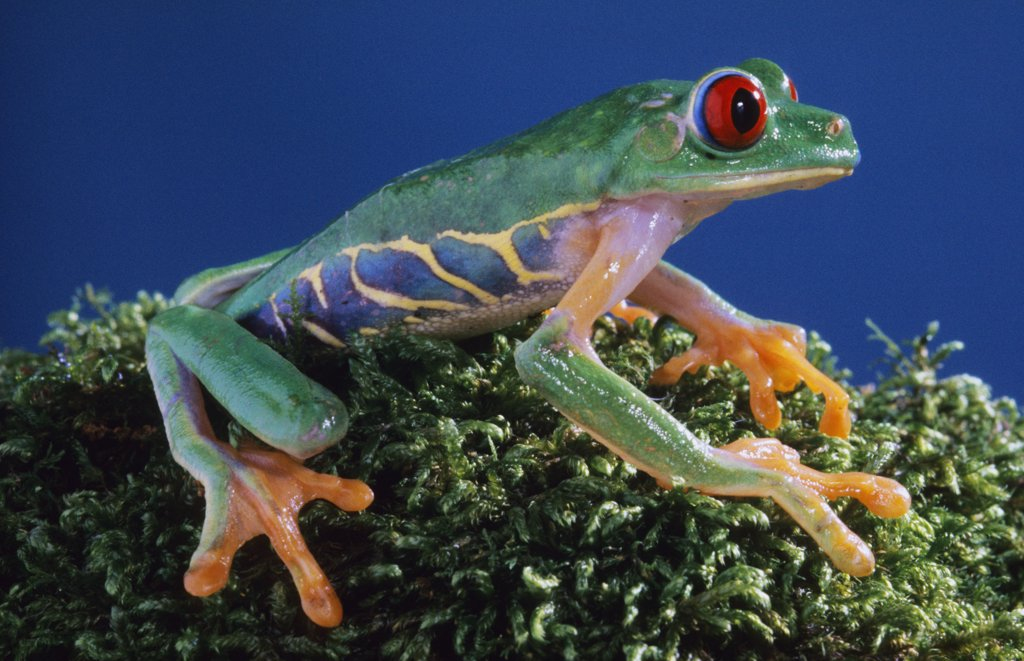 Stock Photo: 1554R-480 Central America, Red-eyed Tree Frog (Agalychinis calidryas)