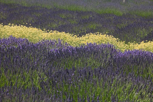 Stock Photo: 1555R-100756 Fields of purple lavender seperated by a row of yellow flowers.