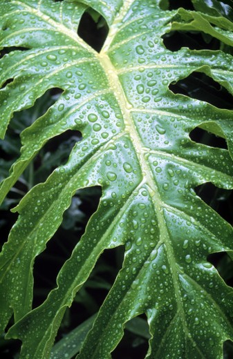 Stock Photo: 1555R-102074 Philodendron