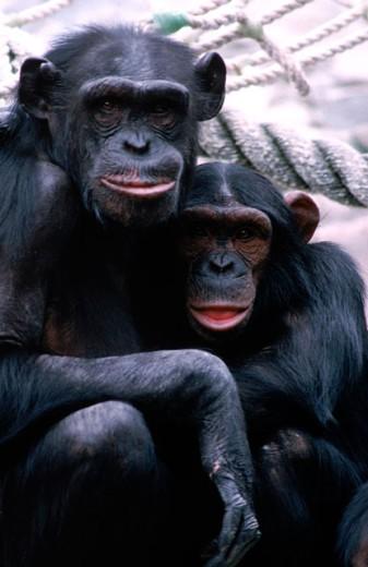 Stock Photo: 1555R-103005 Chimpanzees