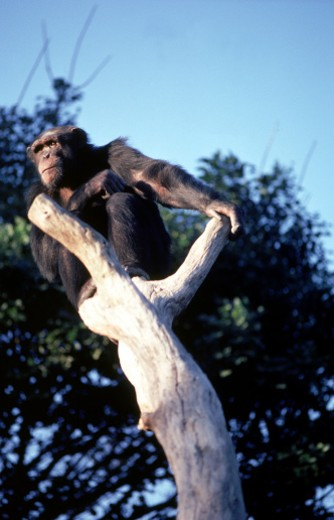 Chimpanzee in tree : Stock Photo