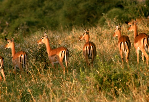 Stock Photo: 1555R-103051 Antelopes in field