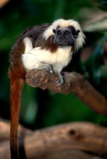 White hair gibbon monkey : Stock Photo