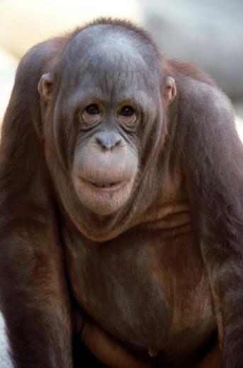 Stock Photo: 1555R-103086 Orangutan