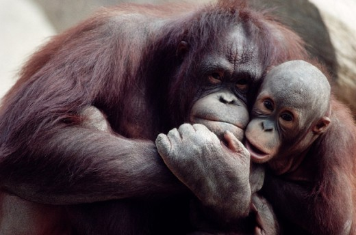Stock Photo: 1555R-139001 Orangutan and offspring snuggling