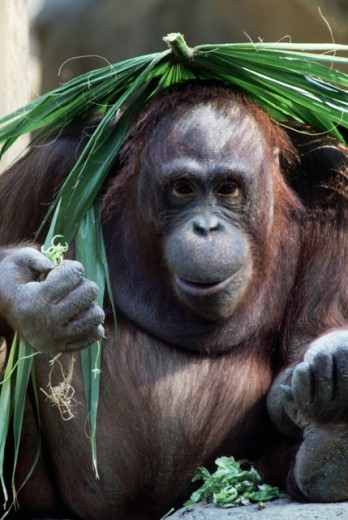 Orangutan with frond on head : Stock Photo