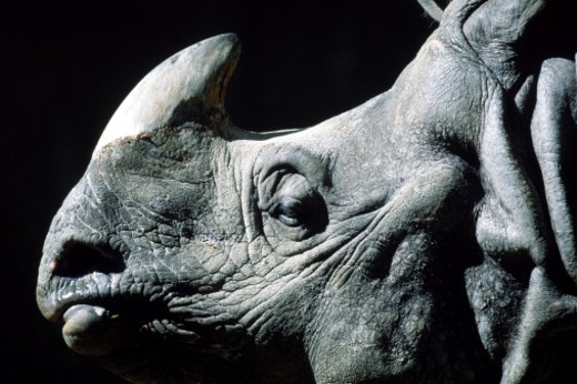 Stock Photo: 1555R-139013 Indian rhinoceros profile