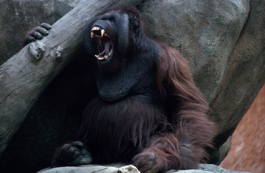 Angry orangutan : Stock Photo
