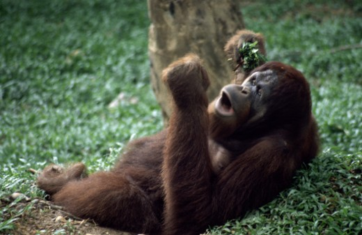 Orangutan lying down and eating : Stock Photo