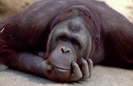 Stock Photo: 1555R-139045 Orangutan thinking