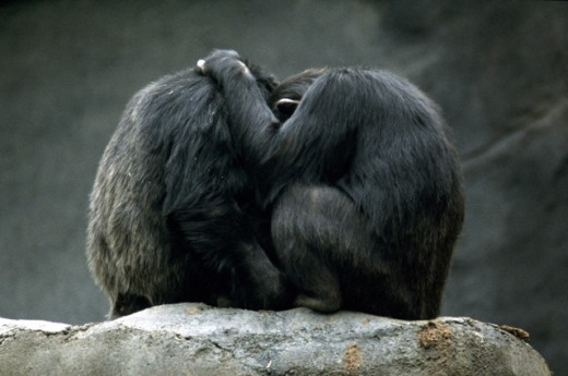 Stock Photo: 1555R-139048 Chimpanzees embracing