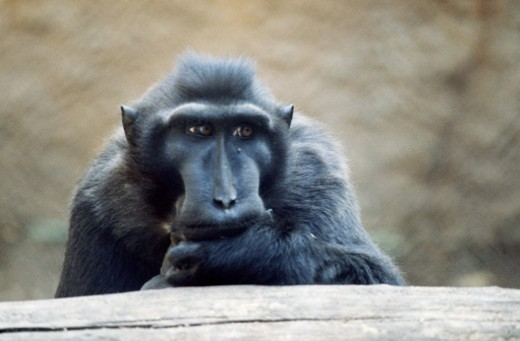 Stock Photo: 1555R-139081 Pensive celebes crested macaque