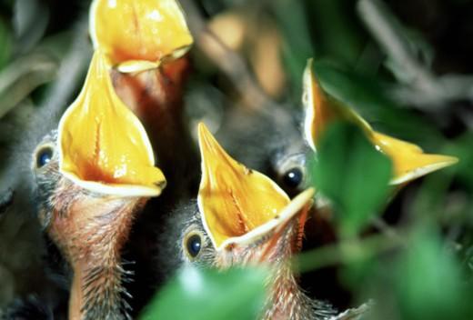 Stock Photo: 1555R-139084 Hungry mockingbirds