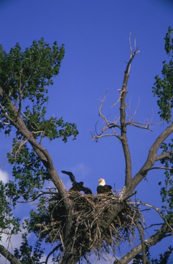 Bald eagles in nest : Stock Photo