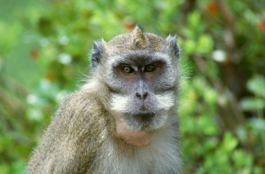 Stock Photo: 1555R-142008 Crab-eating macaque