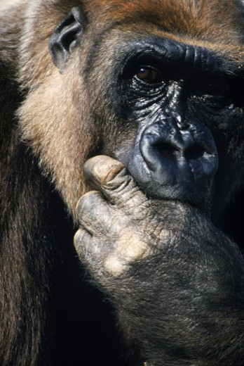 Gorilla with hand in mouth : Stock Photo