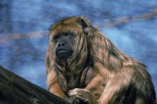 Stock Photo: 1555R-142038 Monkey