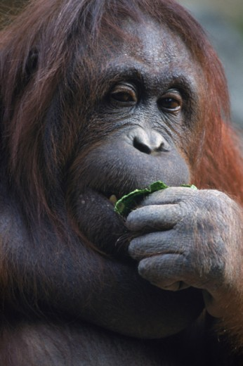 Stock Photo: 1555R-142068 Orangutan eating