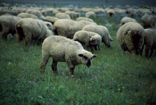 Grazing sheep : Stock Photo