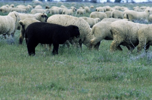 Black sheep and flock : Stock Photo