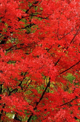 Red leaves : Stock Photo