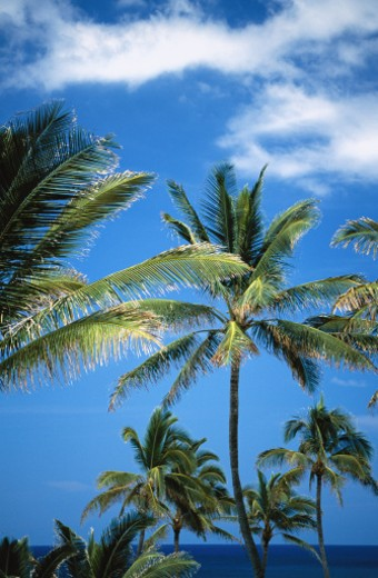 Stock Photo: 1555R-156025 Low angle view of palm trees
