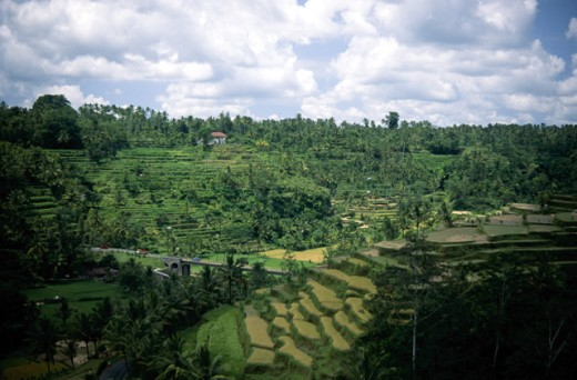 Stock Photo: 1555R-163062 Rice Fields, Bali, Indonesia