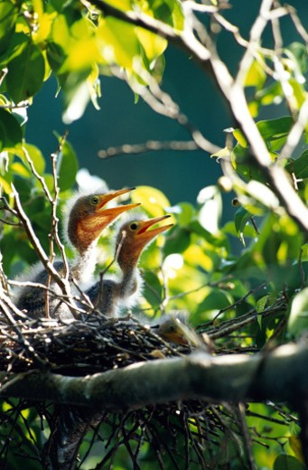 Herons in nest : Stock Photo