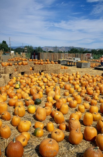 Stock Photo: 1555R-176031 Pumpkin patch, Solono County, California