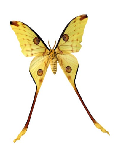 Stock Photo: 1555R-21042 Comet moth