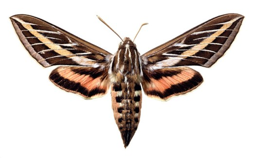 White-lined sphinx moth : Stock Photo