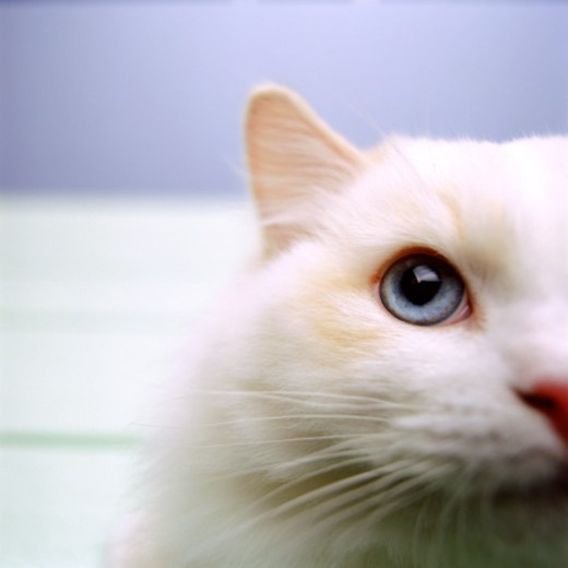 Stock Photo: 1555R-226025 Close up of cat