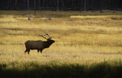 Solitary elk : Stock Photo