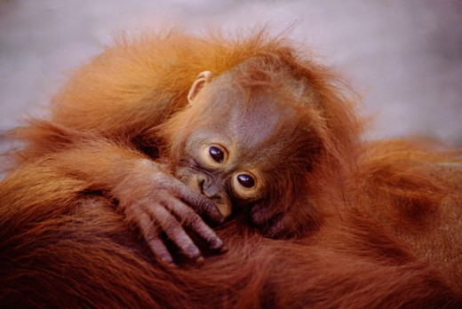 Stock Photo: 1555R-259059 Baby orangutan