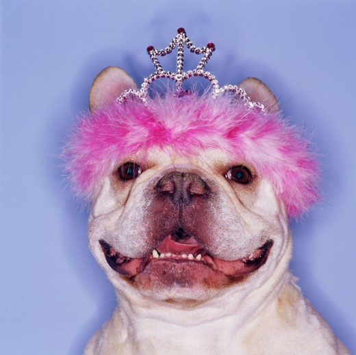 Bulldog wearing tiara : Stock Photo