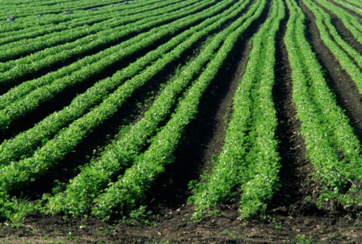 Stock Photo: 1555R-290045 Farm crop