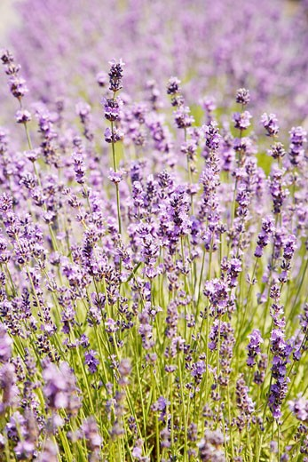 Stock Photo: 1555R-312822 Lavender