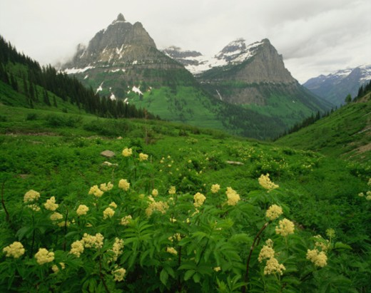 Blue Elderberry, Weeping Wall, Glacier National Park, Montana : Stock Photo