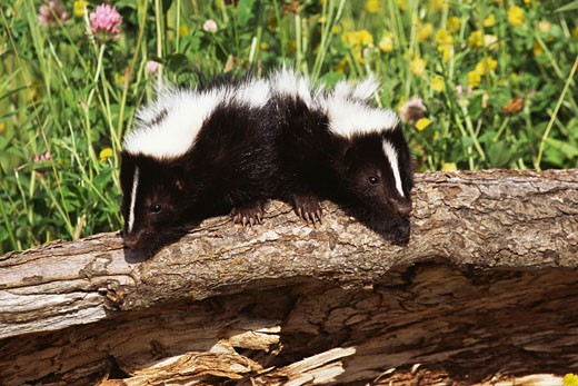 Stock Photo: 1555R-319439 Baby skunks