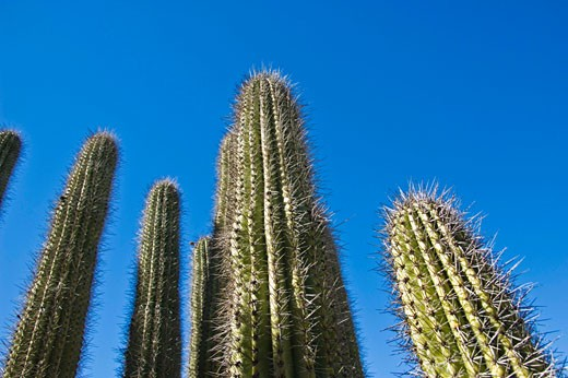 Stock Photo: 1555R-327835 Organpipe cactus