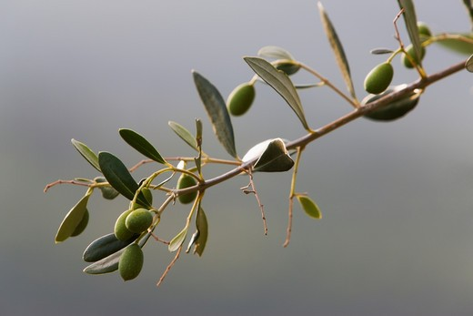 Stock Photo: 1555R-330653 fresh growth of Italian green olives