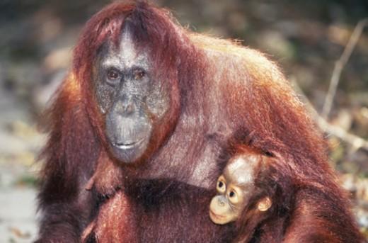 Borneo Orangutan with offspring : Stock Photo